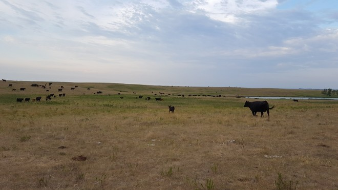 With the help of Riomax, the drought isn't killing these ranchers cattle! North Dakota, United States