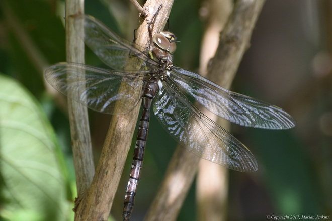 Dragonfly L'Amoreaux North Park, McNicoll Avenue, Scarborough, ON