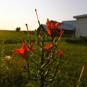 Red flower on the Farm