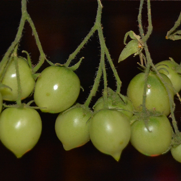 Green Cherry Tomatoes