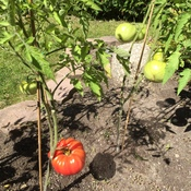 Big Tomato in my garden