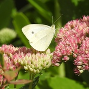 A White Cabbage Butterfly