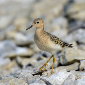 Fall Shorebird Migration