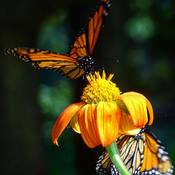 Monarch's Flight