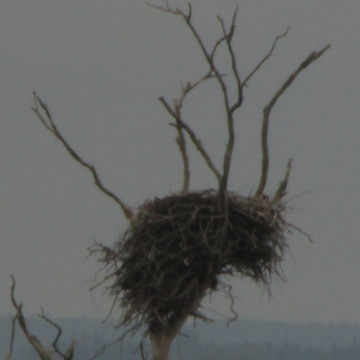 Empty eagle nest..