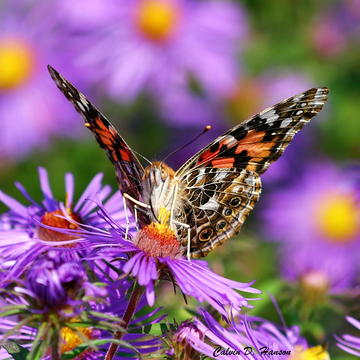 Butterfly on Wild Asters