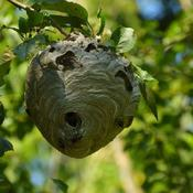 bald faced hornets nest