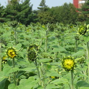 Sunflowers B4 Days & Days of Sun