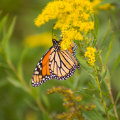 Monarchs Are Back
