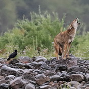 Coyote howling in the rain