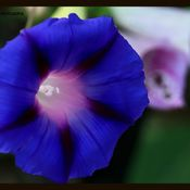 Morning Glory still Blooming