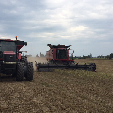 Bean harvest in southern Ontario