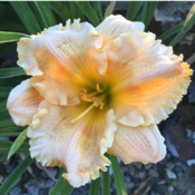 Orange Smoothie Daylily