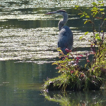Beautiful blue heron