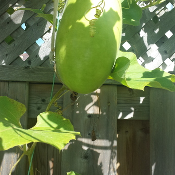Back Yard Garden Asian Gourd Squash & Green hot Chilli.