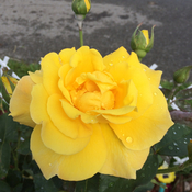 Yellow Rose & buds