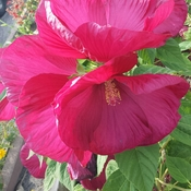 Multiple Hibiscus