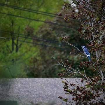 A blue jay at Martello Tower