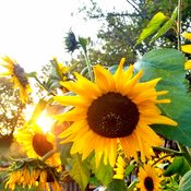 Sunflowers @ Sunset!