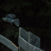 Whiskey Jack, AKA Gray Jay, in flight