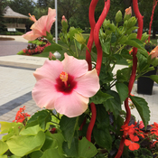 Hibiscus flowers at Milton Town Hall