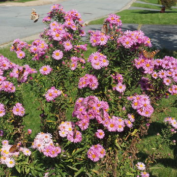 Monarchs lovin' the asters!