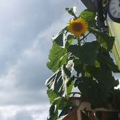 10 foot sunflower planted by my grandaughter