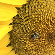 Sunflower honey bee