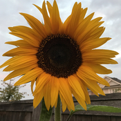 Sunflower 12 ft