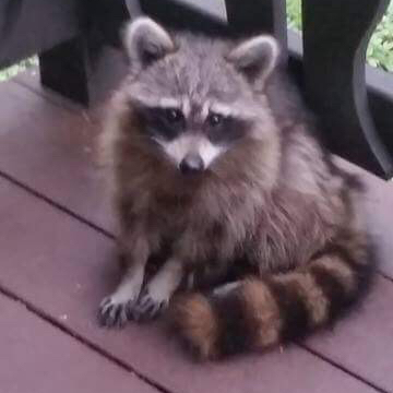 Mr. Raccoon waiting for his treat