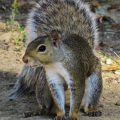 squirrel pose