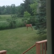 Beautiful deer in our backyard