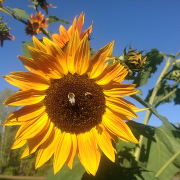 Bees in sunflowers