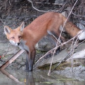 Red fox at 16 mile creek