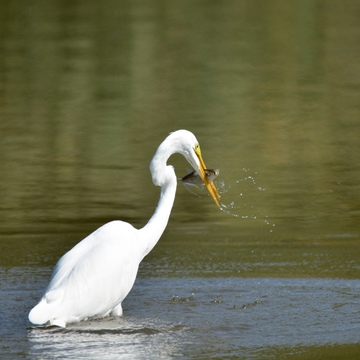Great Egret with fresh catch