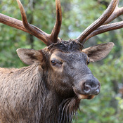 Bull Elk Close Up