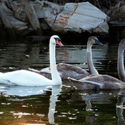 Signets protected...swan never left their side.