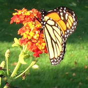 Butterflies Love Lantana flowers