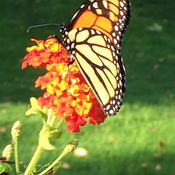 Butterflies love Lantana