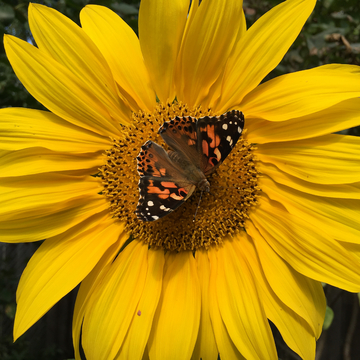 Garden Sunflowers are attracting some attention....