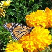 Marigolds & Monarch Butterfly Close-Up!