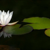 Water lily, Elliot Lake.
