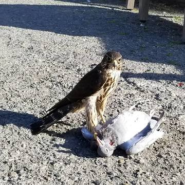 Hawk Nails Pigeon In Sunny Victoria