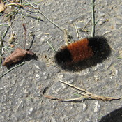 Wooly Caterpiller