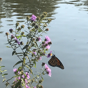 Monarch butterfly at Avon river, enjoying the sunshine