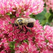 bees and sedum