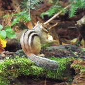 chipmunk enjoying some popcorn