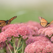 Viceroy Butterflies in Sedum