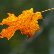 A fall leaf, Elliot Lake.