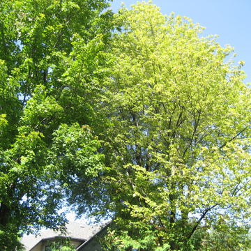 Summer Maples